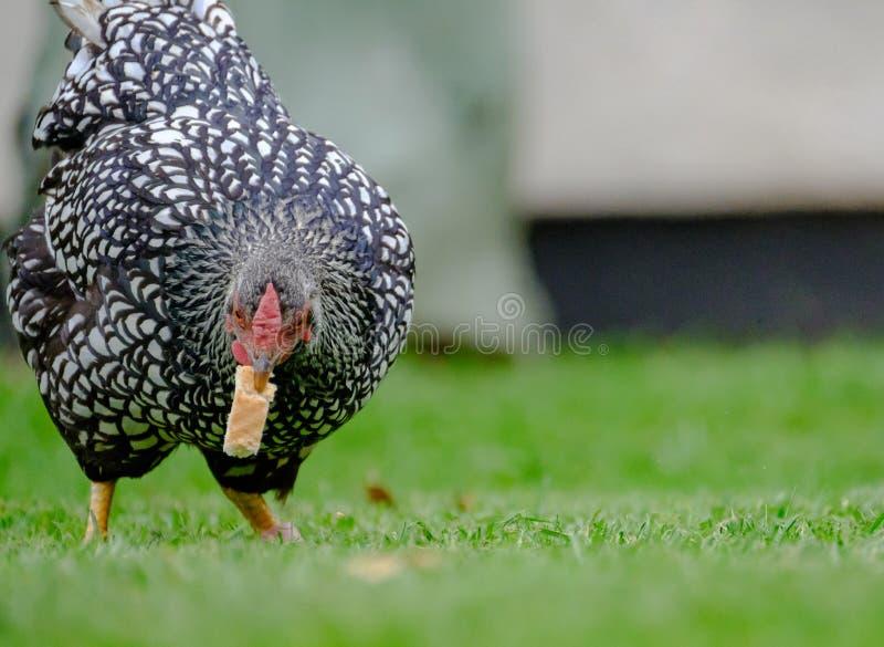 Gallina adulta di Wynadotte veduta mangiare pane in un giardino immagine stock libera da diritti