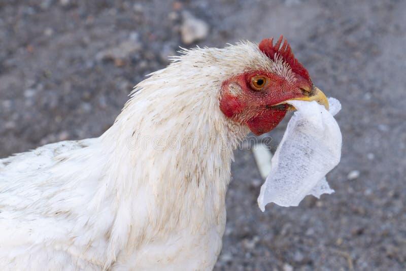Gallina bianca che mangia tovagliolo, concetto di inquinamento immagine stock