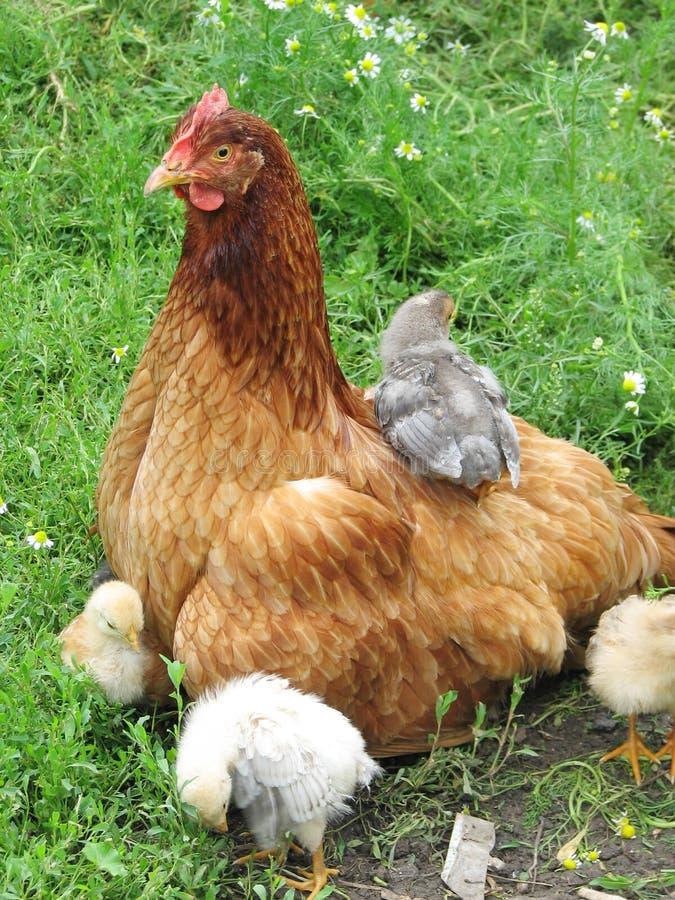 Gallina con los pollos en la hierba verde fotos de archivo libres de regalías