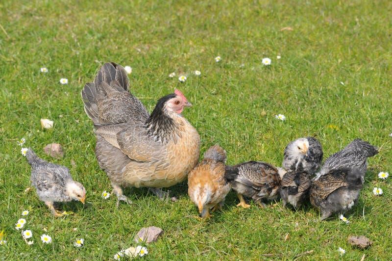 Gallina con los polluelos imágenes de archivo libres de regalías