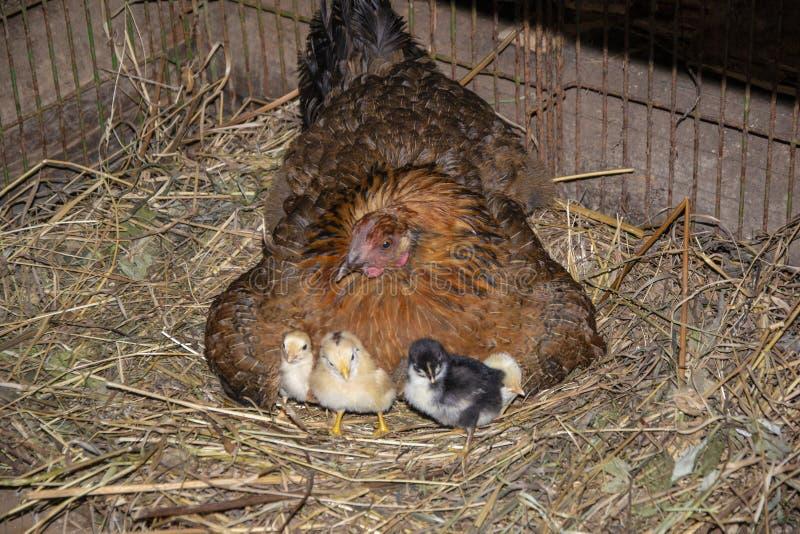 Gallina de cría del pollo con los pollos imagen de archivo libre de regalías