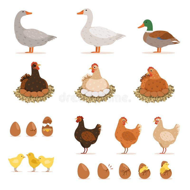 Gallina de cría del pollo, patos y otros pájaros de la granja y sus huevos Ejemplos del vector fijados en estilo de la historieta ilustración del vector