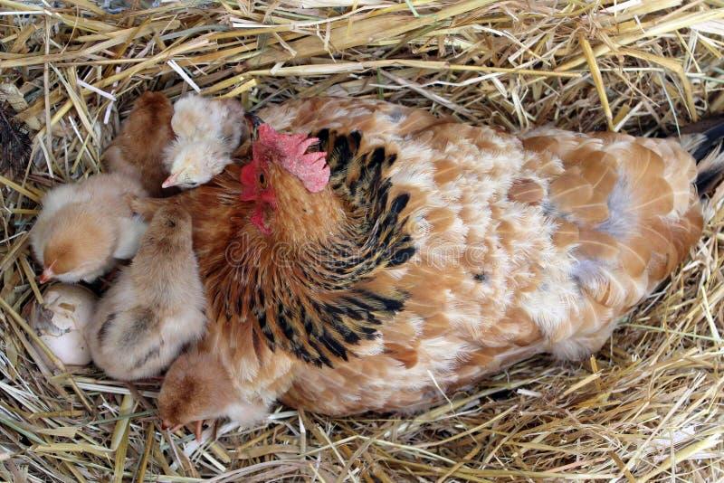 Gallina de la madre con sus polluelos foto de archivo libre de regalías