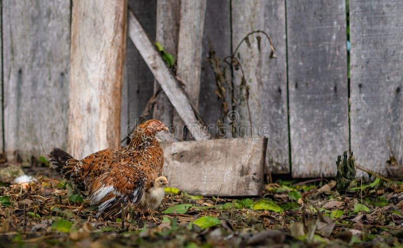 Gallina de la madre que empolla sus polluelos imagen de archivo