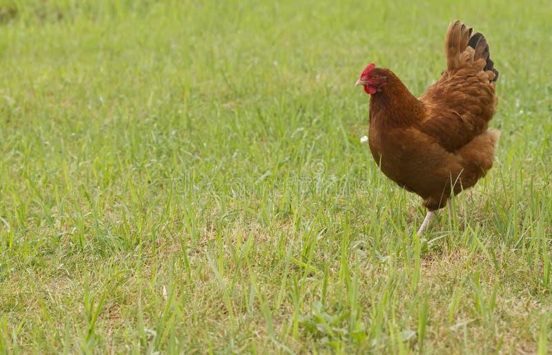 Gallina del pollo fotografie stock libere da diritti