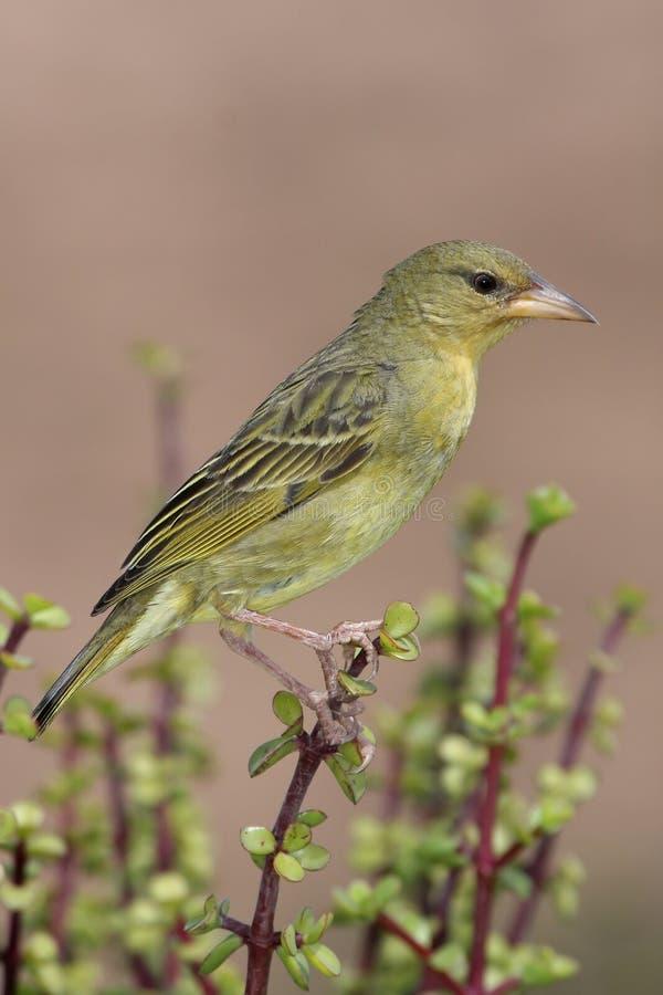 Gallina dell'uccello del tessitore del capo fotografia stock