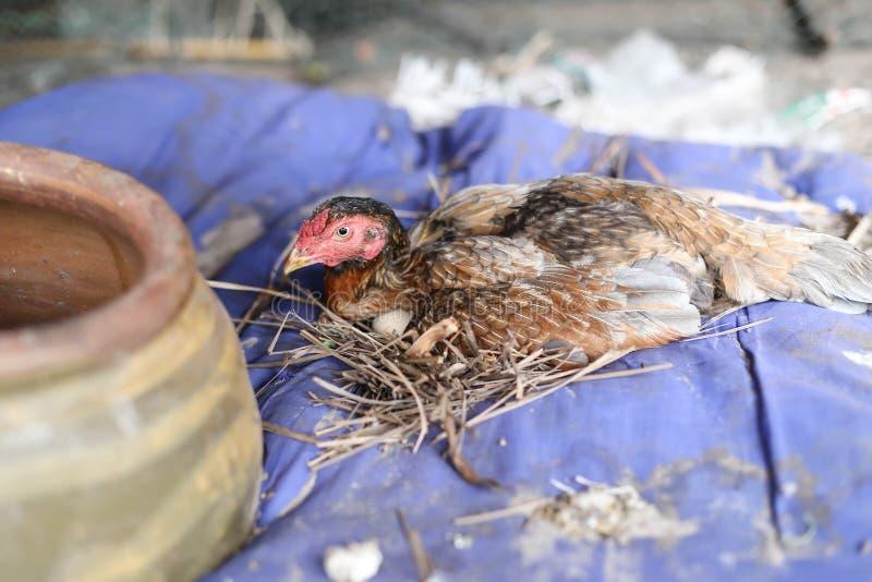 Gallina Di Brown Con L'uovo Fotografia Stock - Immagine di ...