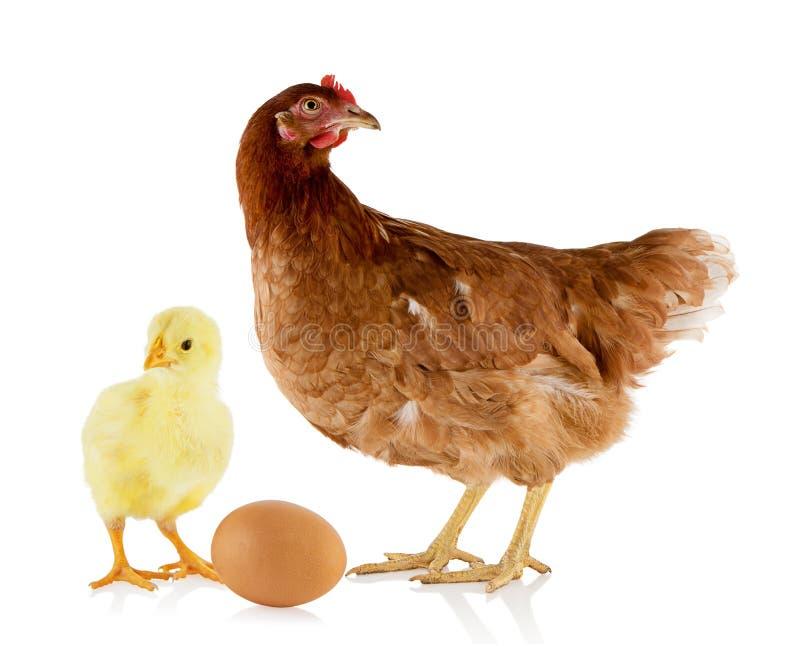 Gallina e pollo fotografie stock libere da diritti