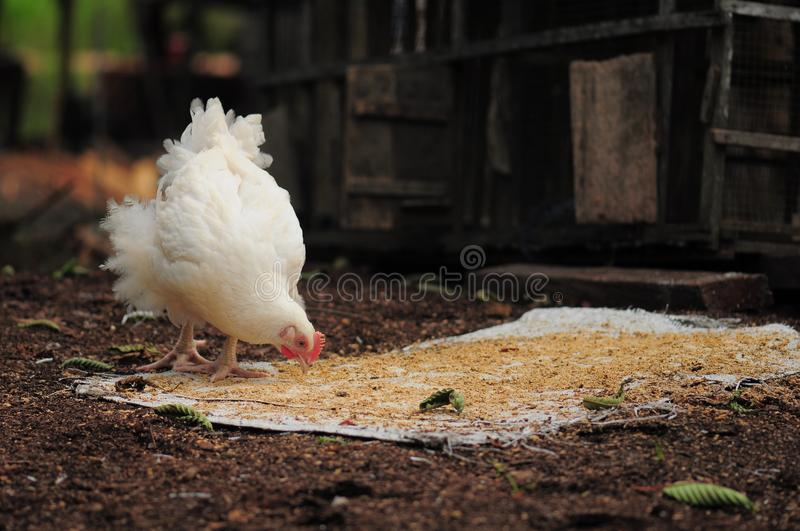 Gallina ed il suo brunch fotografie stock