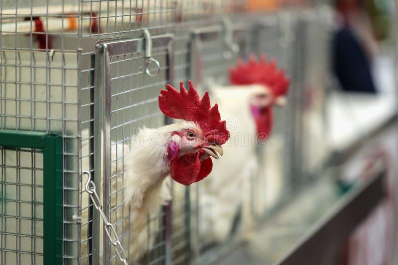 Gallina en jaulas de la granja industrial, retrato del primer de cacareo blanco del gallo Concepto de avicultura y imagen de archivo