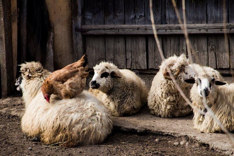 Gallina que come en una oveja imágenes de archivo libres de regalías