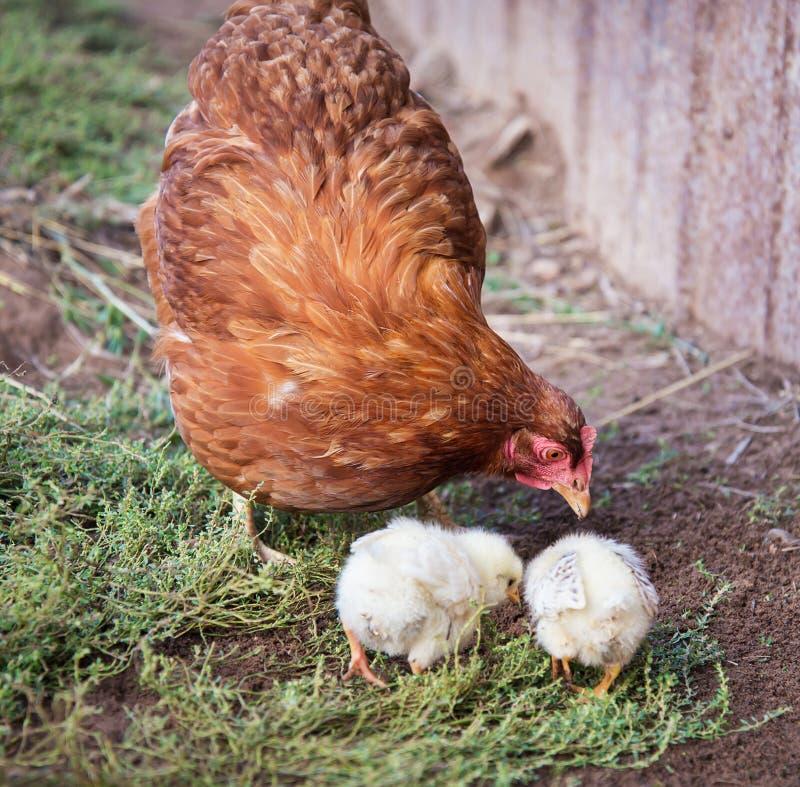 Gallina rossa e due polli fotografia stock libera da diritti