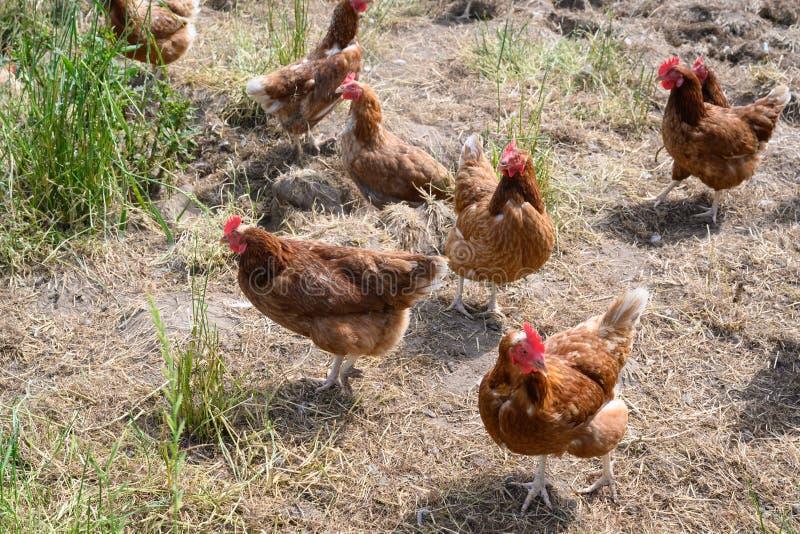 Gallinas felices de la granja - gallinas libres de la gama en jardín natural de la granja fotografía de archivo libre de regalías