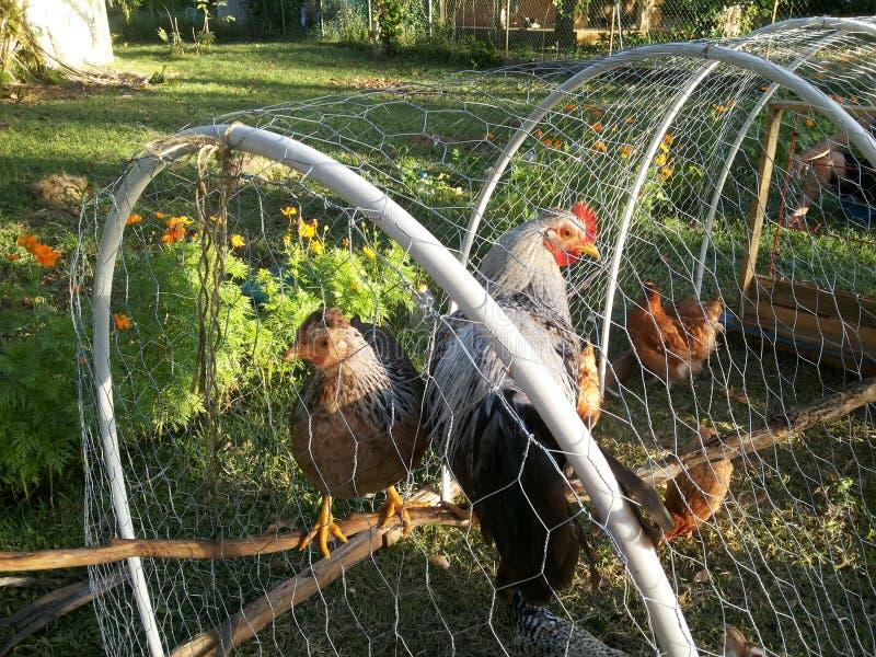 Gallinas y pollos en el tractor del pollo fotos de archivo libres de regalías