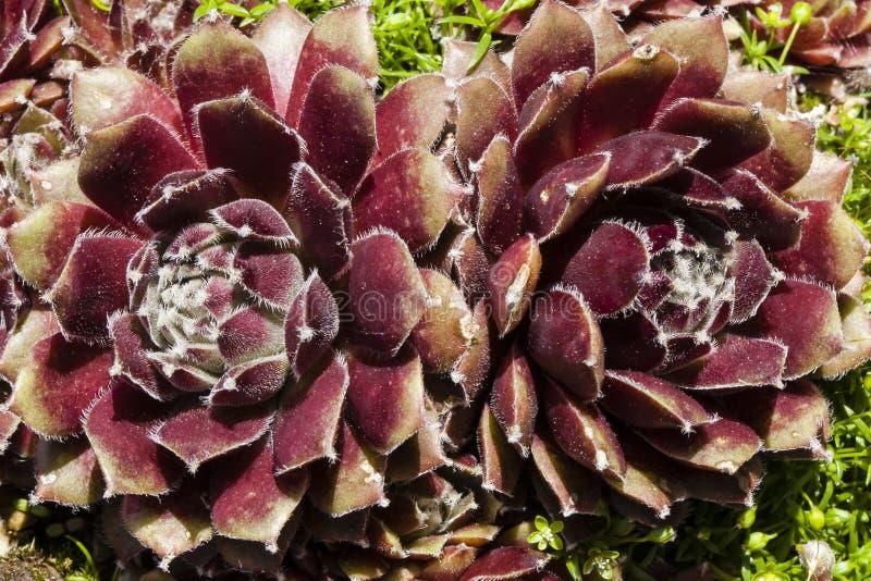 Gallinas y polluelos suculentos del Flor-cierre-para arriba de la imagen de espejo imágenes de archivo libres de regalías