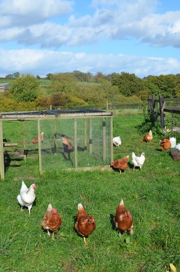 Galline accanto al loro pollaio immagini stock libere da diritti