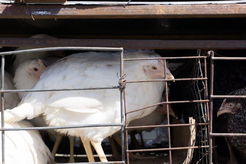 Galline dei polli delle uova nell'azienda agricola industriale delle gabbie fotografia stock libera da diritti