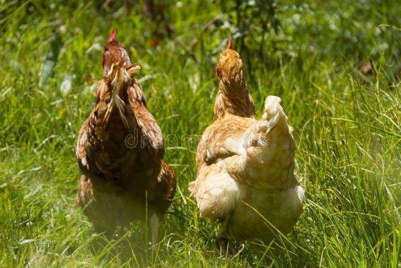 Galline libere che pascono giorno organico del sole dell'erba verde delle uova fotografia stock
