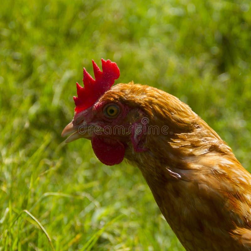 Galline libere che pascono giorno organico del sole dell'erba verde delle uova fotografia stock libera da diritti
