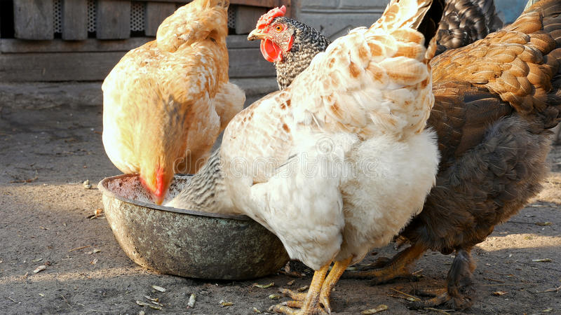 Galline libere dei polli della gamma che beccano mais ed alimento immagini stock