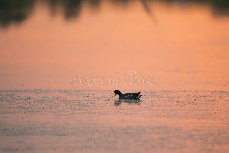 Gallinule común norteamericano que flota en perfil en el lago coloreado en naranja por la salida del sol imagenes de archivo