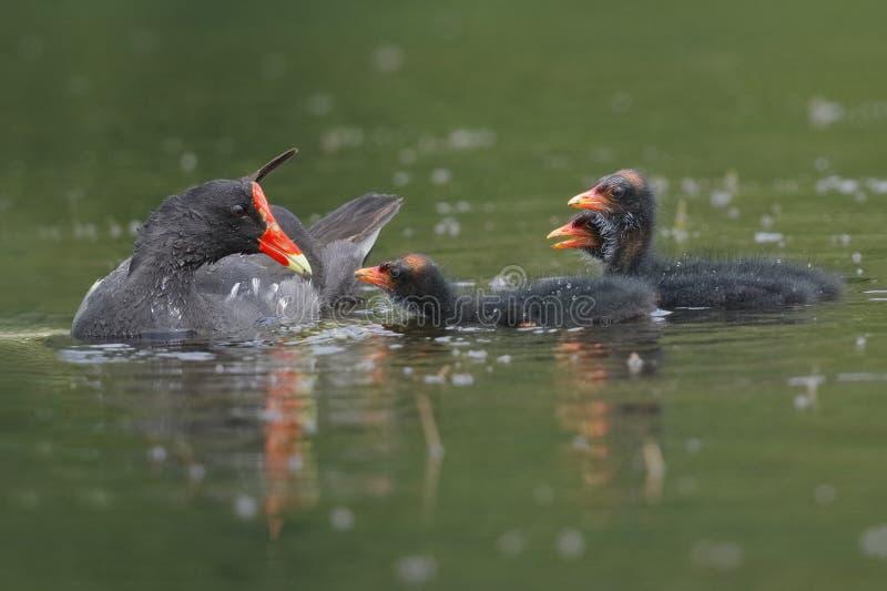 Gallinule comune che alimenta i suoi pulcini - fiume di Chagres, Panama fotografia stock libera da diritti