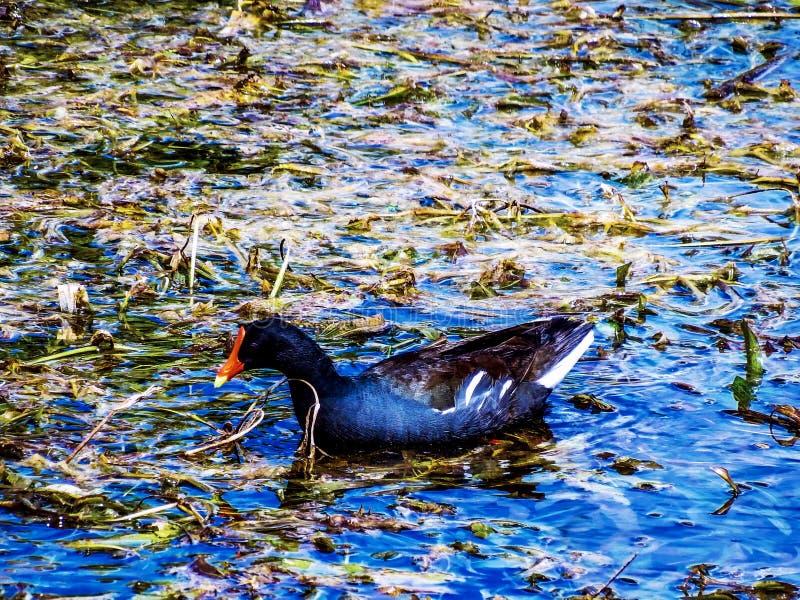 Gallinule comune, girante in uno stagno della palude dei terreni paludosi di Florida immagine stock libera da diritti