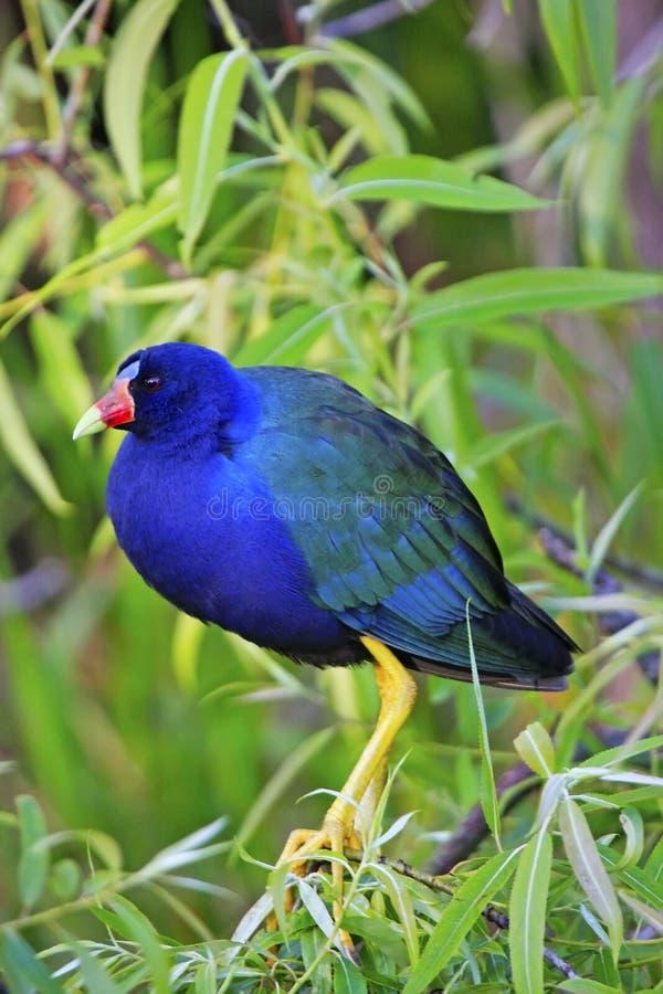 Gallinule porpora fotografie stock