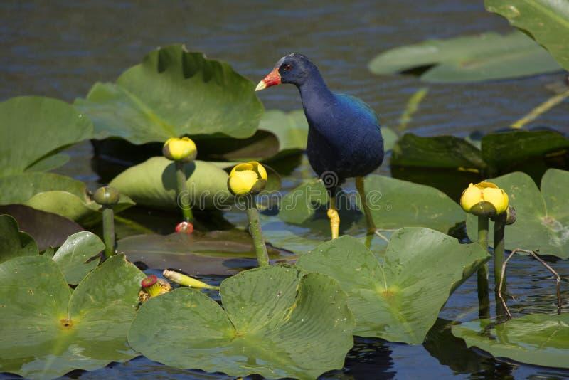 Gallinule pourpre en parc national de marais images libres de droits