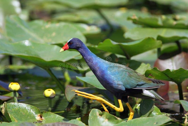 Gallinule viola che cammina sui rilievi di giglio - terreno paludoso immagini stock