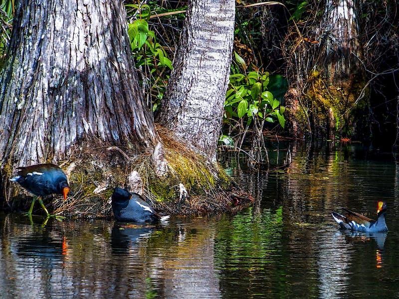 Gallinules comum em um pântano do cipreste fotografia de stock