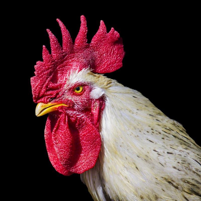 Gallo arrabbiato fotografia stock