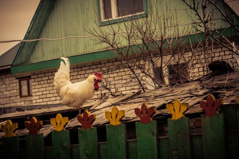 Gallo bianco sul tetto immagine stock libera da diritti