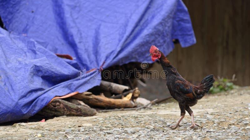 Gallo che cammina all'aperto immagine stock libera da diritti