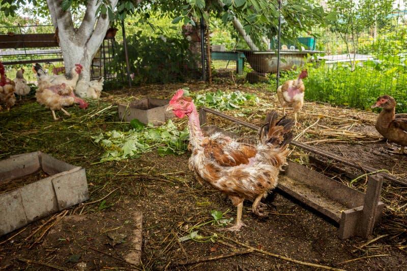 Gallo che cammina nell'iarda Pollame nel villaggio Ha perso il suo gallo delle piume immagini stock