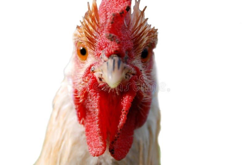 Gallo con l'atteggiamento fotografia stock libera da diritti