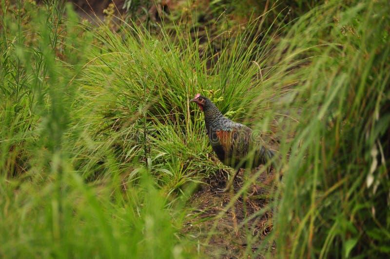 Gallo con un peine rojo poultry Pollo salvaje de Indonesia imagen de archivo
