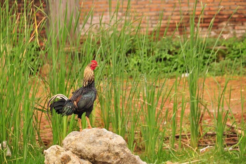 Gallo con un peine rojo poultry Pollo salvaje de Indonesia fotos de archivo