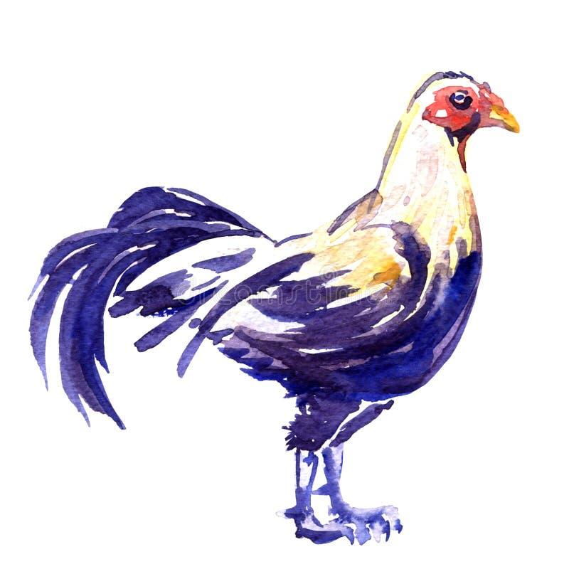 Gallo de lucha, varón aislado, ejemplo del gallo de pelea de la acuarela en blanco stock de ilustración
