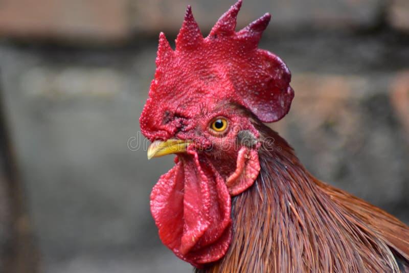 Gallo dell'animale domestico a casa fotografia stock
