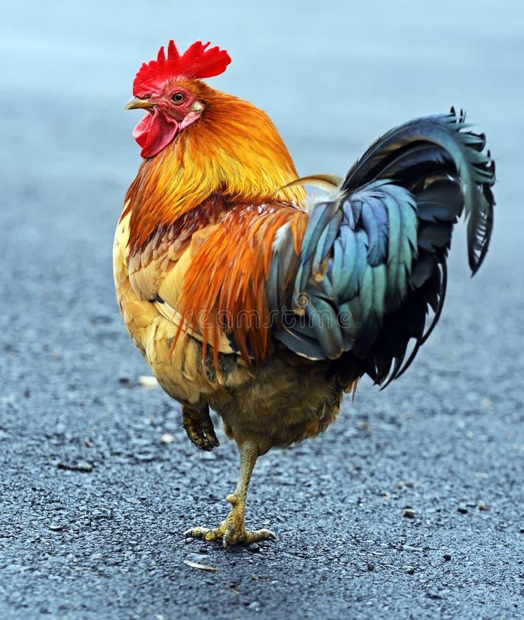 Gallo dell'animale domestico del ritratto immagini stock libere da diritti
