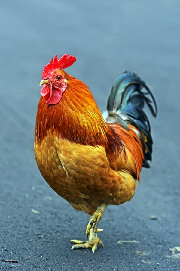 Gallo dell'animale domestico del ritratto immagine stock