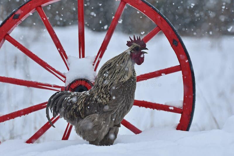 Gallo di canto di vecchia razza resistente Hedemora dalla Svezia su neve nel paesaggio invernale