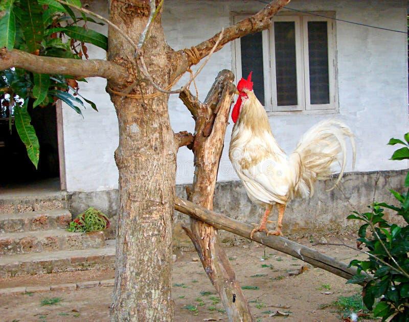 Gallo domestico bianco con il pettine rosso che si siede sul ramo di un albero in un villaggio indiano immagini stock libere da diritti