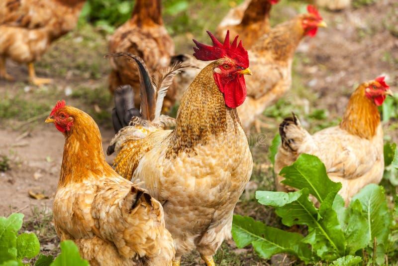 Gallo e gallina nel villaggio fotografie stock libere da diritti