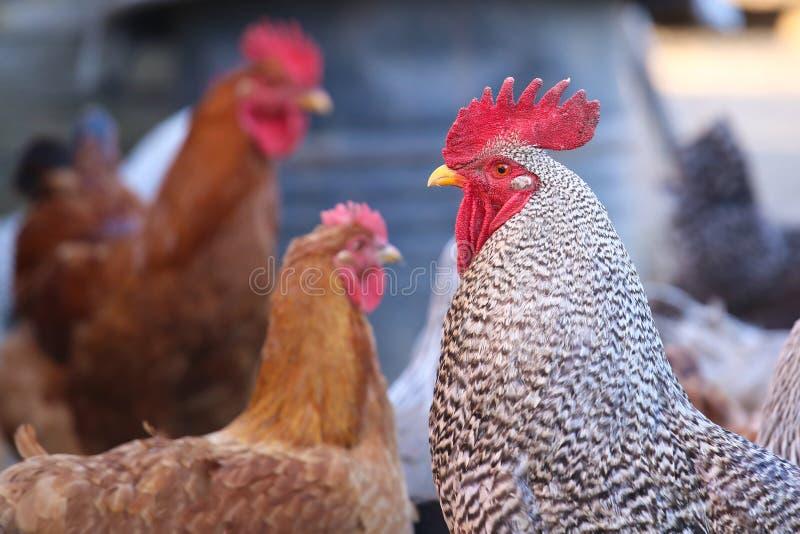 Gallo e moltitudine di gallina fotografia stock libera da diritti