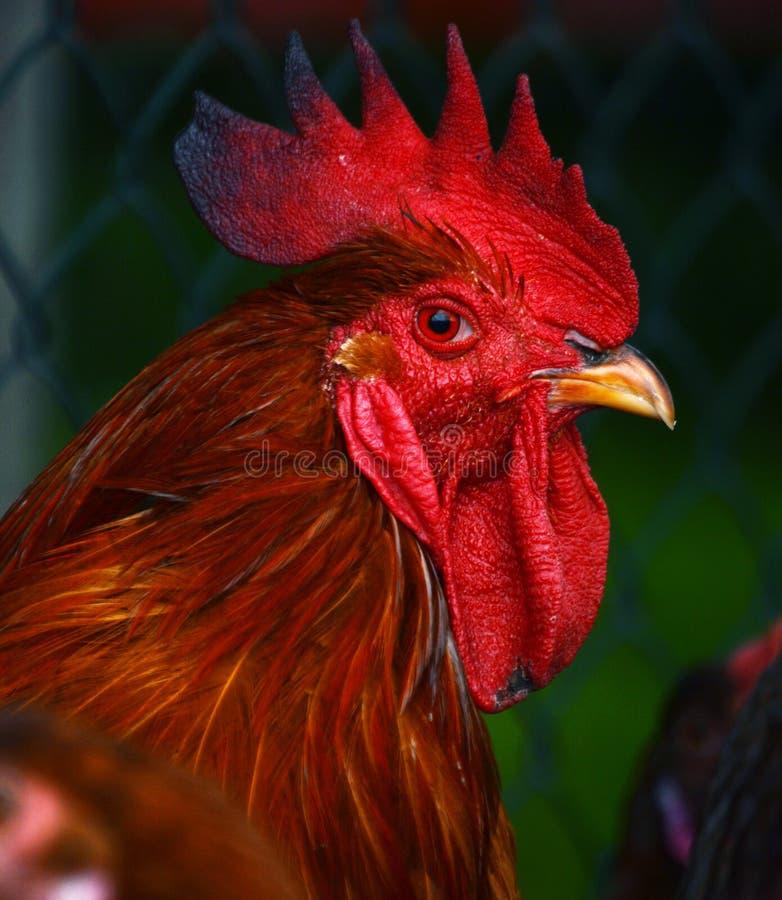 Gallo en granja avícola libre tradicional de la gama imagen de archivo libre de regalías