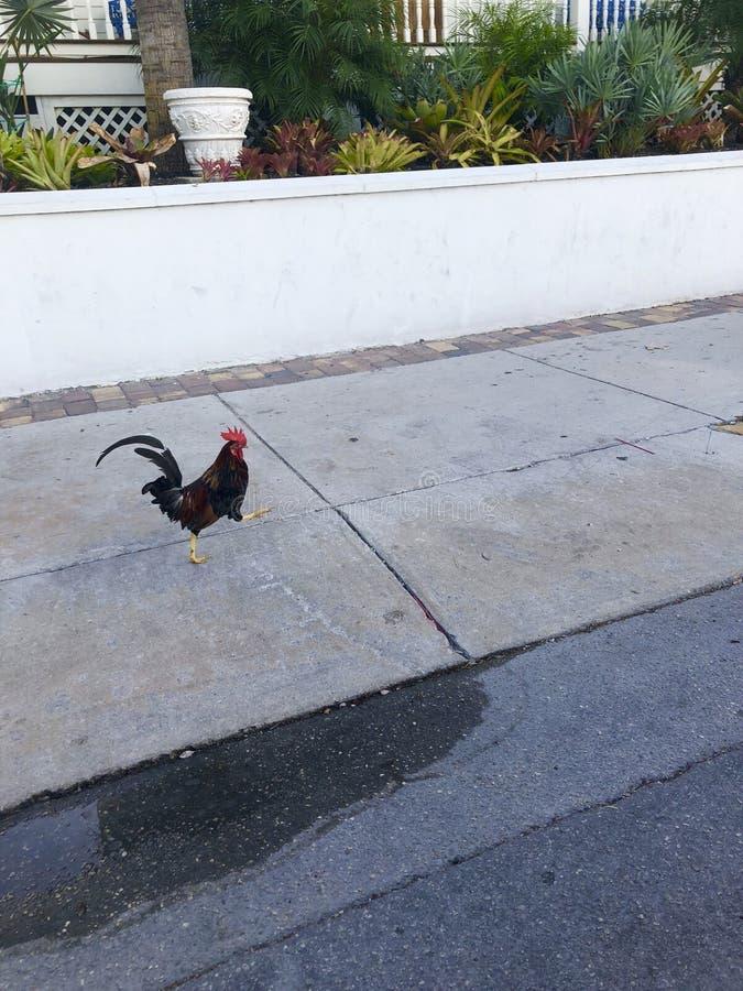 gallo en las llaves de la Florida imágenes de archivo libres de regalías