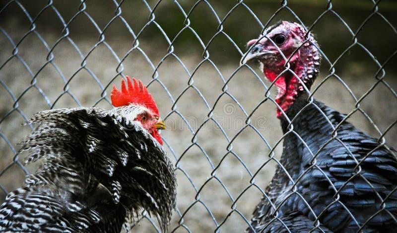 Gallo enojado contra pavo imágenes de archivo libres de regalías