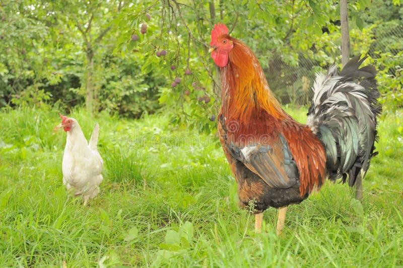 Gallo (martillo) y gallina blanca en jardín imagen de archivo